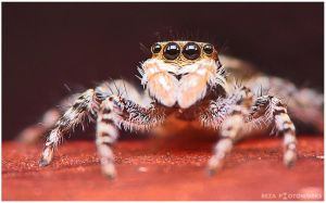 Jumping Spider IV by momentoes