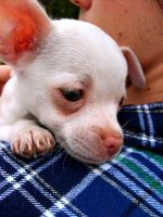 Teacup Chihuahua by hexihash