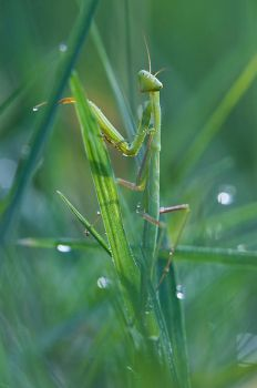 Mantis - 10-07-2009 by Amersill