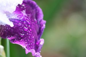 Iris Afternoon 4 by Dellessanna