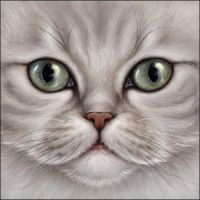 Chinchilla Persian Cat by Wynnyelle