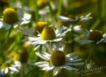 Camomile Flowers - Kamillenblumen by TheFunnySpider