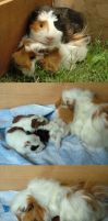 My Guinea-Pigs by Fany001