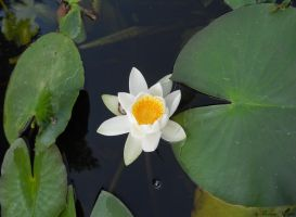 lonely lily by florina23