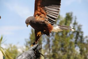 Sina, the one winged hawk by deliquescing