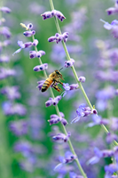 A Bee Landing by tCentric-media