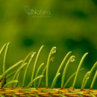 Drops in spiny leafs by natea