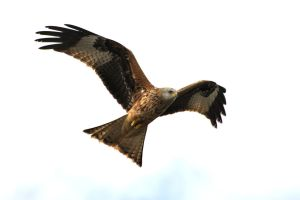 Red Kite 20140323-1 by FurLined