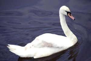 Swan 2 by Jimridlington