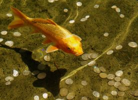 Lucky Fish by youngbeth