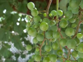 Green Grapes by merrywendsday