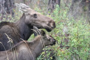Tender Moments: Cow Moose and Calfs Feeding by Shadow848327