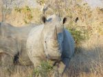 two  rhinoceros by Windstern