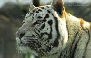 White Bengal Tiger - Aghhh too close again! by Shadow-and-Flame-86