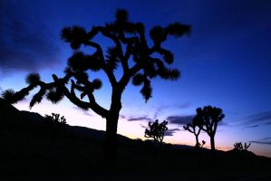 Joshua Trees and Sunset by jorobins