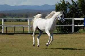 GE Arab white canter side view by Chunga-Stock