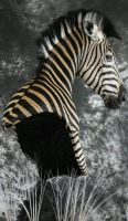 Zebra by MovingSkin13
