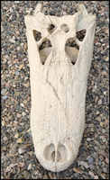 American Alligator Skull 2 by Lupen202