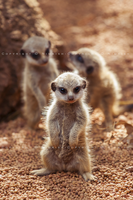 Meerkat Kits by Nimkish