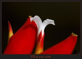 Red and white by caro77