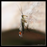 Scorpion fly 2 by Globaludodesign