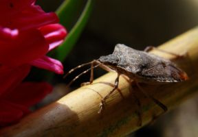 Brown Stink Bug by raverqueenage