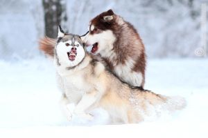 Artic and wild by furbyprince