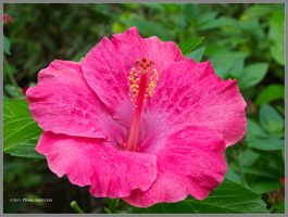 Rose Hibiscus by Mogrianne