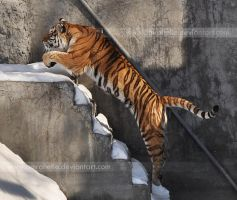 Jumping Tiger by Amrahelle