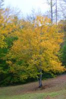 Yellow Tree by Rjet33