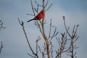 A Cold Cardinal by Broadwinger