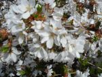Up Close Cherry Blossoms by Dorchet-chan