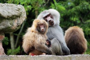 Hamadryas Baboons by Clerdy