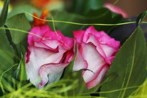 Roses by abstractroses