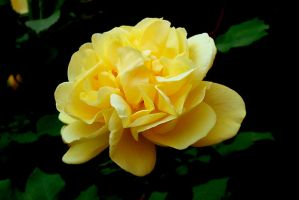 Yellow Rose by miss-masami
