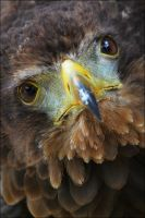 Bateleur eagle. by Evey-Eyes