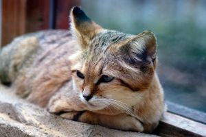 sand cat 3 by awjay