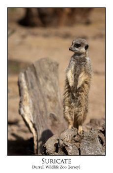 Suricate by Neo3004