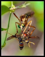 Robber Fly with Wasp by eccoarts