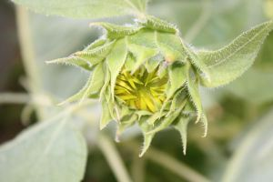 Budding Sunflower by Reshmie