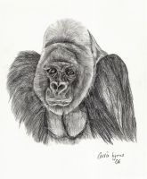 Gorilla for AHV by carriephlyons