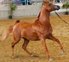 Chestnut Arabian stock2 by xxMysteryStockxx