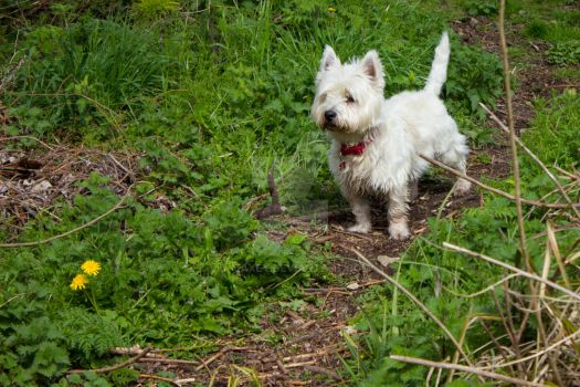 Highland Terrier by D-Maxey
