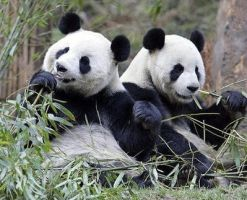 Pandas by wingsoverdeath