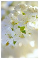 White blossom by Aliss86