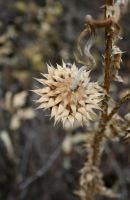 Twisted Thistle by BemusedBonnie