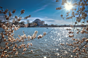 DC Cherry Blossom by Tyler007