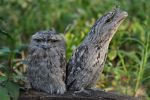 Frogmouth 5 by Arcindrus