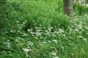 Queen Anne's lace by Jing-o-Jang