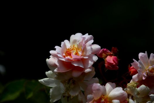 Rosa 'Pearl d'Or' by Caloxort